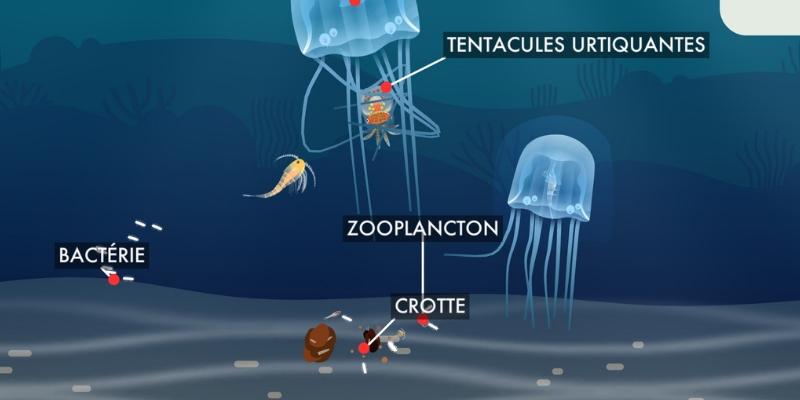 Les récifs coralliens meduses